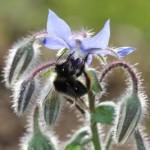 Reconnaître et accueillir les abeilles sauvages