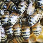 abeilles 23082013 022