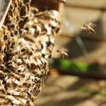 L'Europe en déficit de colonies d'abeilles