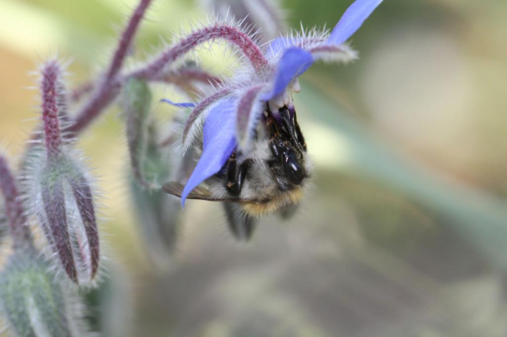 abeillesauvage1