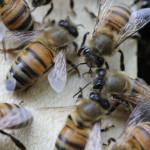 Les abeilles sont des super-héroïnes : démonstration en 14 points